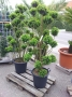 Buxus_Bonsai_504bb0b6e2384